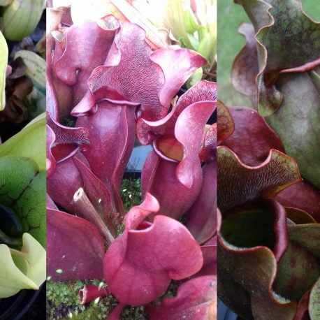 Carnivorous Plants1
