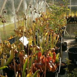 Sarracenia seeds, mixed species and hybrids, 50 seeds.
