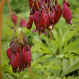 Dicentra  ' Bacchanal'