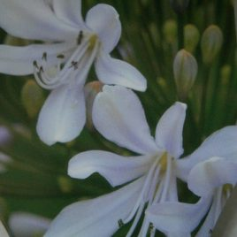Agapanthus 'Blue Ice'
