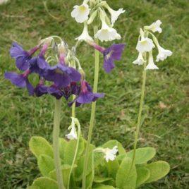 Primula Alpicola 1.5ltr
