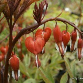 Dicentra Spectabilis 'Valentine'  (Lamprocapnos spectabilis 'Valentine')