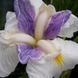 Iris Ensata 'Queen's tiara'