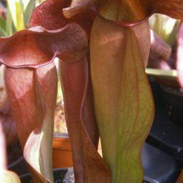 Sarracenia ' Jedi'