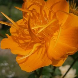 Trollius Chinensis 'Golden Queen' 30 seeds