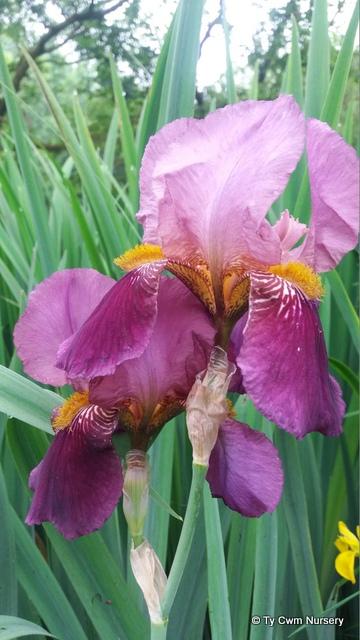 Iris ger Senlac comp