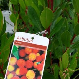 Arbutus unedo compacta (The strawberry tree)