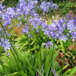"Agapanthus ""Blue umbrella"""