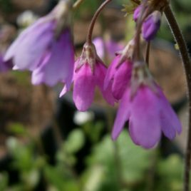 Cortusa matthioli ssp Pekinensis