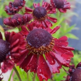 Helenium Ruby Tuesday.