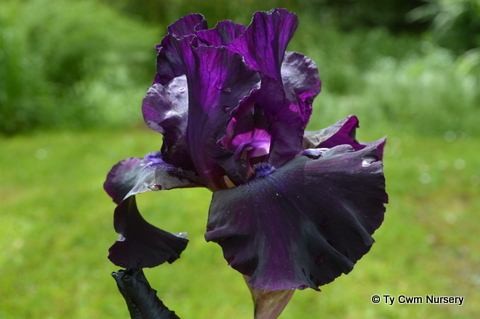 Iris Superstition