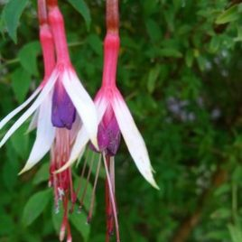"Fuchsia magellanica ""Lady Bacon"""