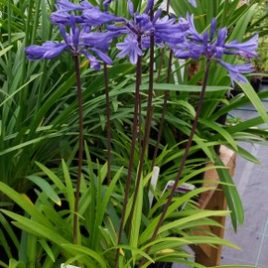"Agapanthus ""Navy blue"" ( Midnight star)"