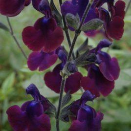 """Salvia x Jamensis """" Natchvlinder"""""""