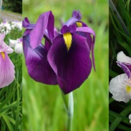 Iris ensata seed mixed species and hybrids.