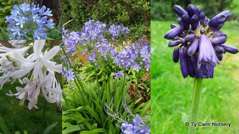 Collage Agapanthus