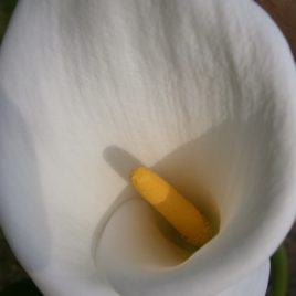 "Zantedeschia aethiopica ""Glencoe"""
