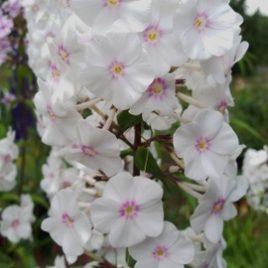 """Phlox maculata """"Omega"""""""