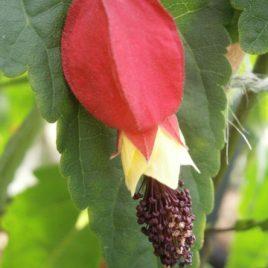 Abutilon megaponticum