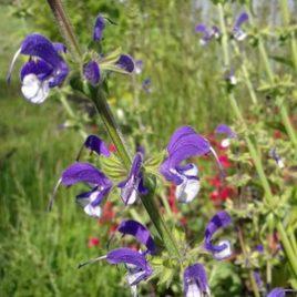"""Salvia """"Madeline"""" ( PBR)"""