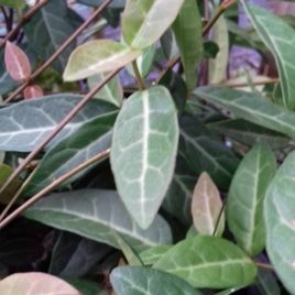 Trachelospurmum Jasminoides Wilsonii