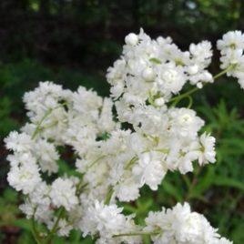 Filipendula vulgaris 'Multiplex'