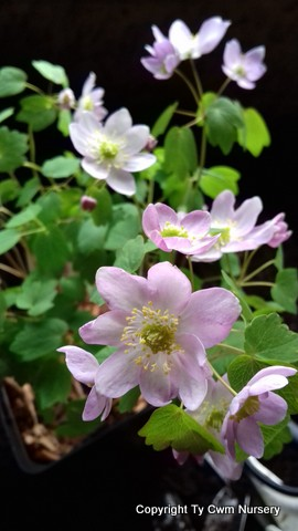 Anemonella thalictroides rosea