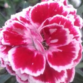Dianthus 'Bianca'