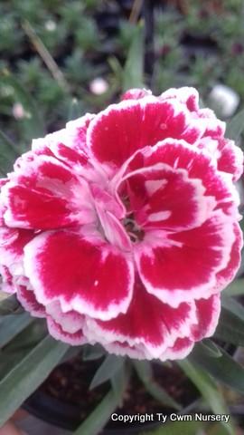 Dianthus Bianca