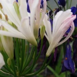 Agapanthus 'Strawberry Ice'