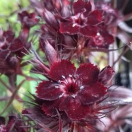 Dianthus Barbatus 'Monksilver Black'