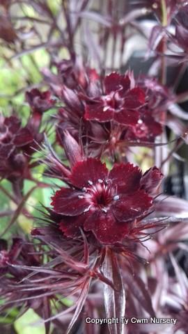 Dianthus barbatus Monksilver black