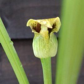 Arisaema Flavum seeds 15
