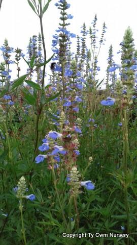 Salvia Uiliginosa
